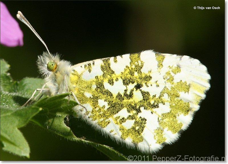 sized_vlinder