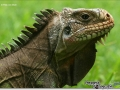 sized_iguana-iguana-close-up