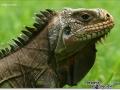 sized_iguana-iguana-close-up